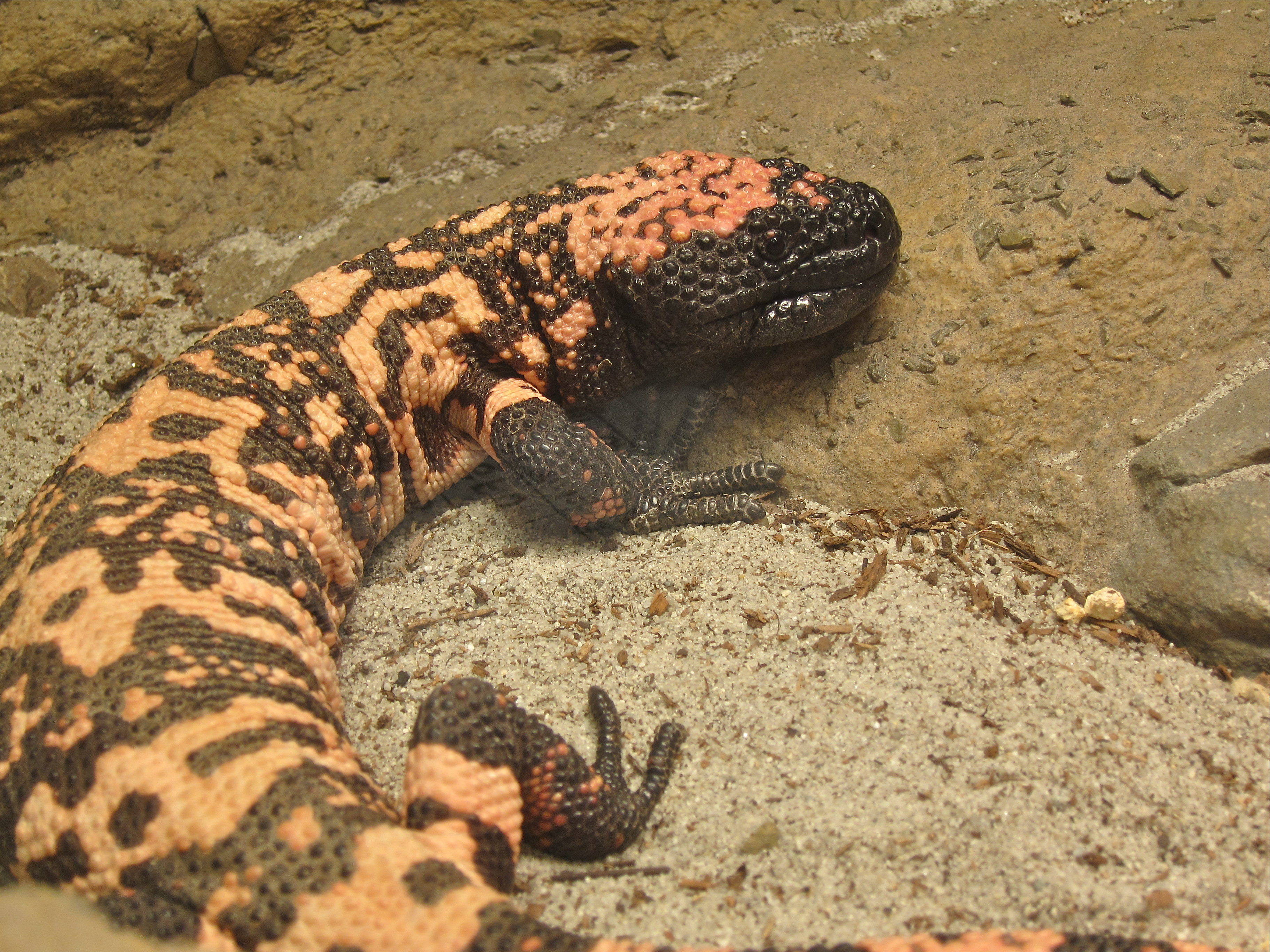 What is the diet of a Gila monster?