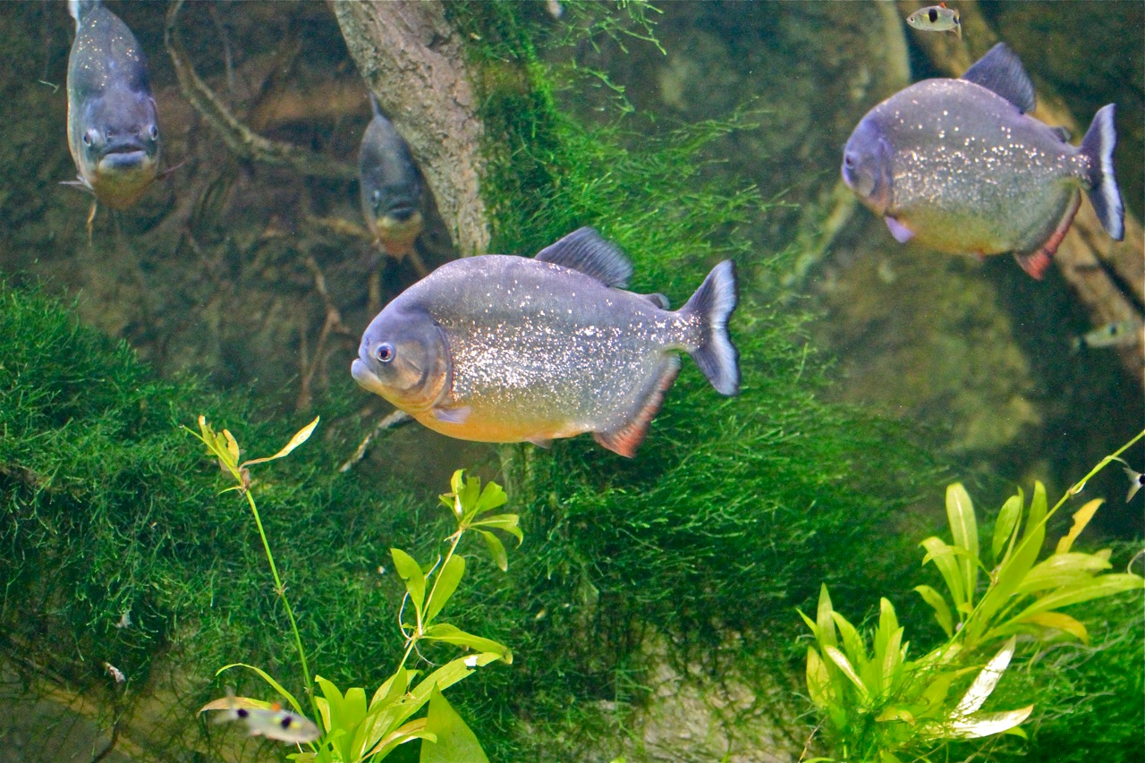 9 1 11 piranha from ron s flooded amazon series ron 39 s for Fish of the amazon