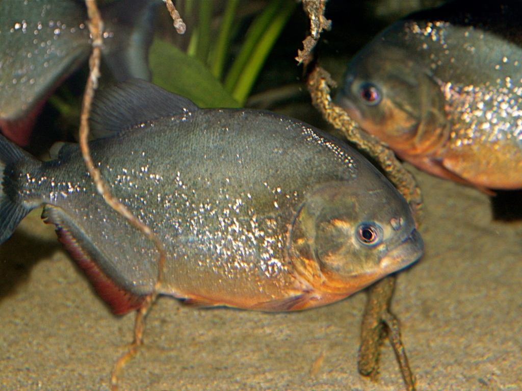 Facts About Red Bellied Piranhas Red Belly Piranha Img 0090 Jpg