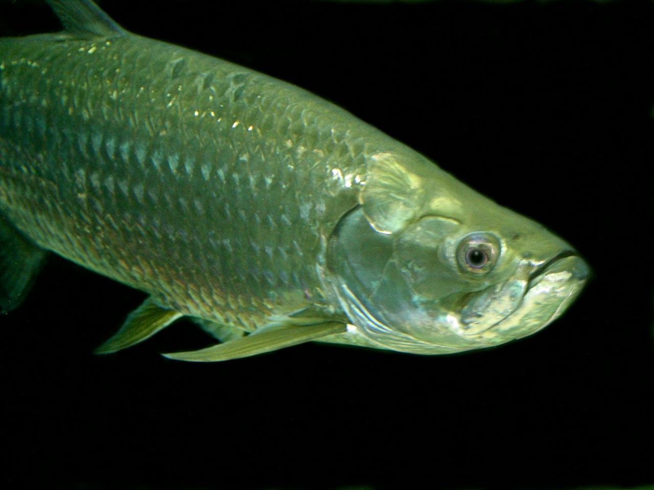 Fish for amazon aquarium - Distribution Habitat