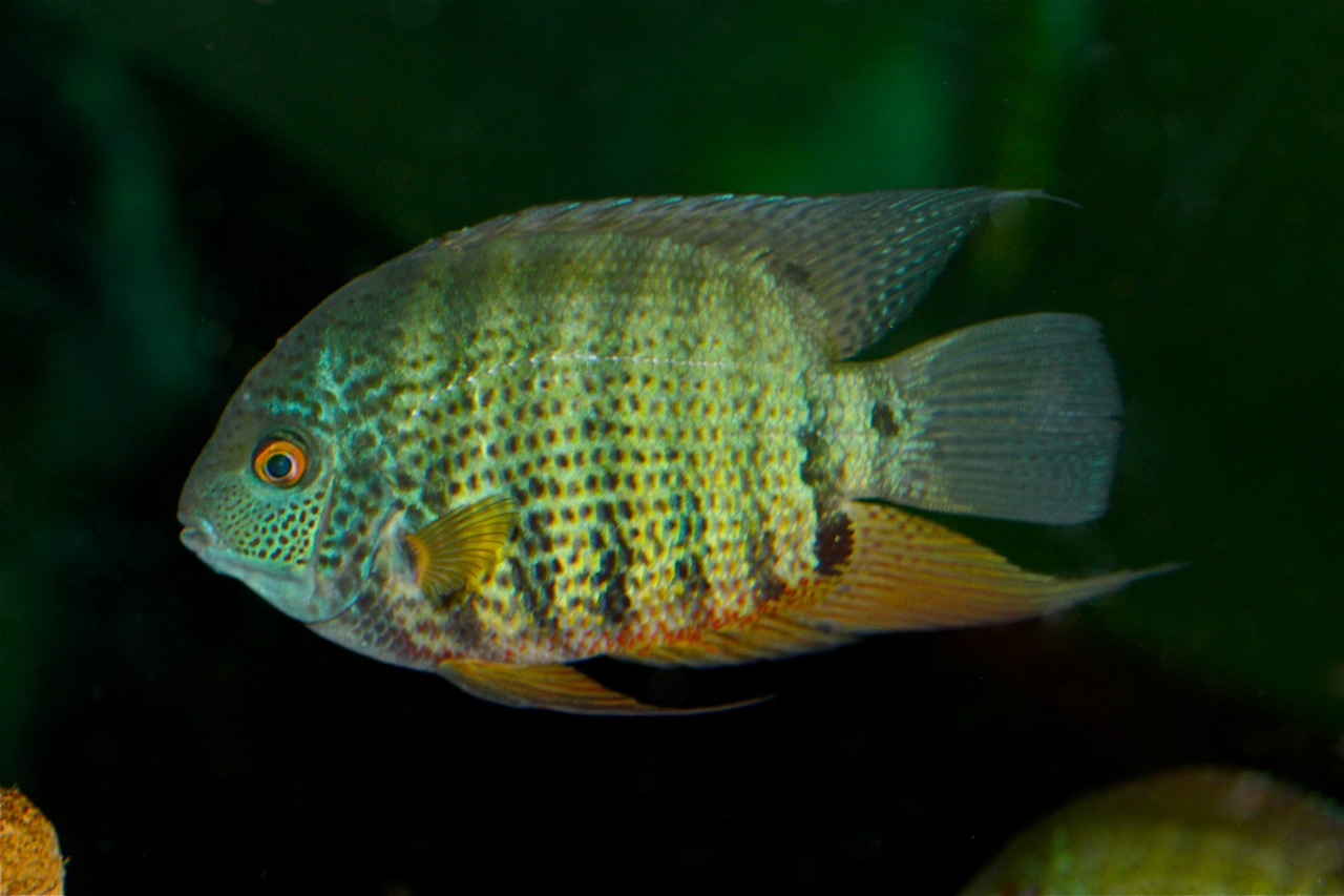 Underwater galleries together with Jack dempsey for sale in addition Johnny Depp Calendar By Dream besides Central american cichlids for sale additionally Ram fish for sale. on oscar fish for sale male