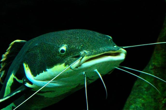 Redtail Catfish Phractocephalus hemiliopterus (Pimelodidae)  IMG_8974