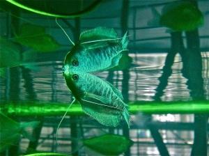Blue Gourami Trichogaster trichopterus(Belontiidae)