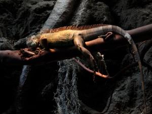 Iguana IMG_0128