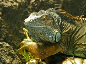 Iguana iguana Kingdom Animalia, Phylum Chordata, Class Reptilia. Family Iguanidae.IMG_1995