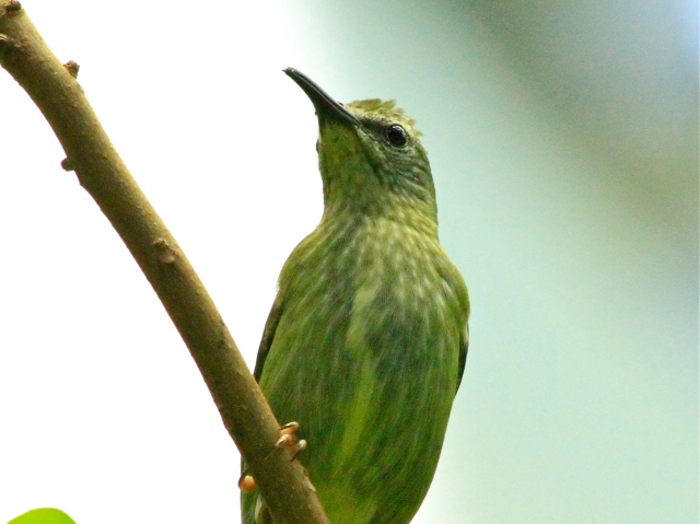 Red-legged Honeycreeper (female) 4141915745_6f640230c1_o