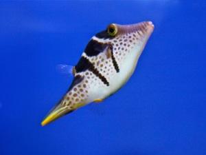 Mimic Filefish aka False Puffer TetraodontidaeIMG_4254