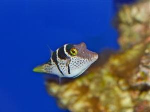 Mimic Filefish aka False Puffer   Tetradontidae PR11IMG_4259