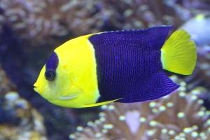 Bicolor Angelfish Centropyge bicolorIMG_9431
