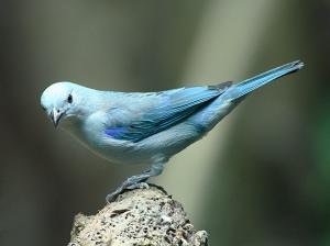 Blue-grey tanager3151558297_1c281e57c8_b