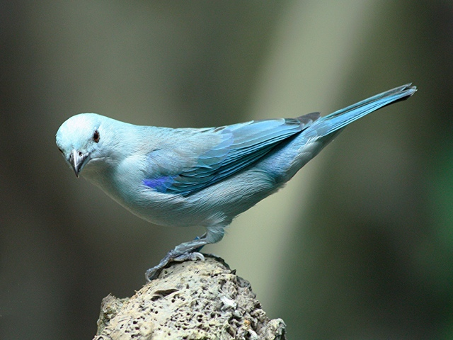 Blue-grey tanager3151558297_1c281e57c8_b