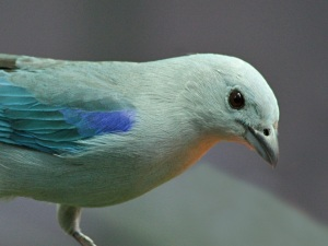 Blue-gray Tanager Thraupis episcopusIMG_0604