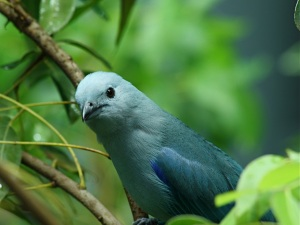 Blue-gray Tanager  IMG_1295