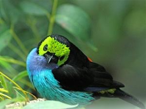 Paradise TanagerTangara chilensisparadisea_2_2