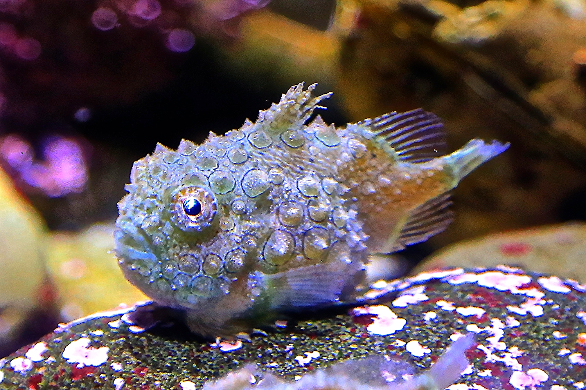 12-06-18 Pacific Spiny Lumpsucker from Ron's Temperate Marine Series | Ron's Critter of the Day