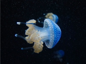 White-spotted Jelly IMG_5171