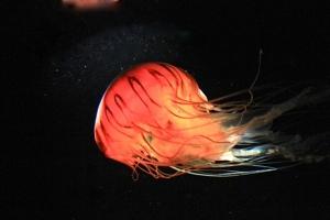 1-13-12 Japanese Sea Nettle from Ron's Jellies SeriesIMG_5828