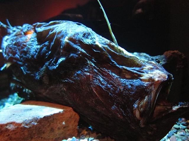 3 13 12 triplewart sea devil specimen from ron s animal for Fish eye wart