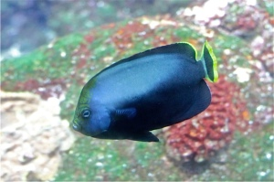 Black-Velvet Angelfish   IMG_6177