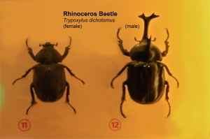 Rhinoceros Beetle Trypoxylus dichotomus (female) (male)IMG_6663
