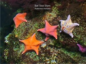 Bat Sea Stars
