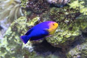 Cherub Fish   IMG_6407