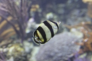 Banded Butterflyfish   IMG_7473