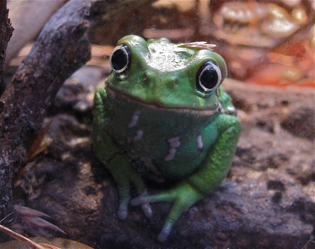 Waxy monkey FrogIMG_8772