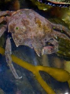 Northern Kelp CrabIMG_5779