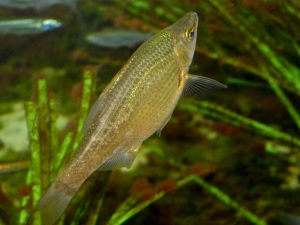Dwarf Surfperch  IMG_6829