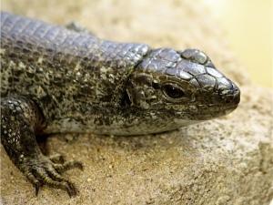 Madagascar Plated LizardIMG_0956