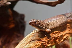 Madagascar Plated LizardIMG_7998