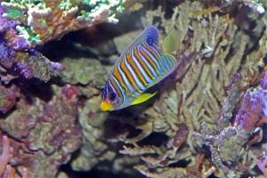 Regal Angelfish  IMG_8077