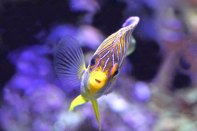 Regal Angelfish Pygoplites diacanthus