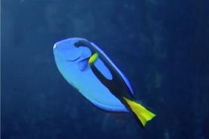Flagtail Surgeonfish