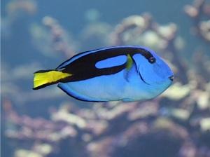Flagtail Surgeonfish  IMG_0737