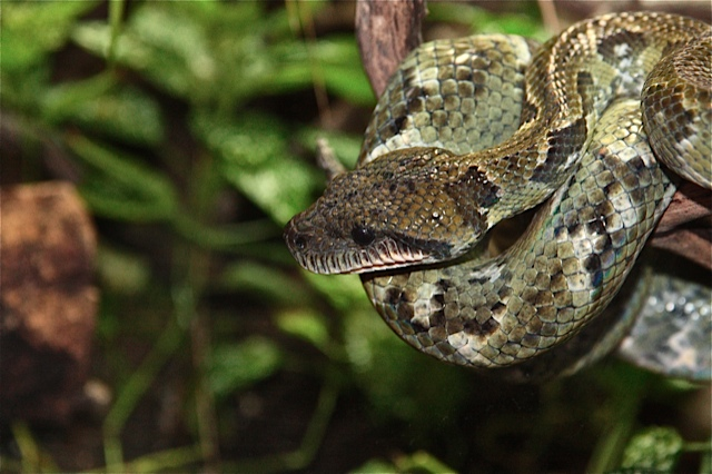 characteristics and spieces of boa snakes The southern range of the bolivian short-tailed boas (boa constrictor amarali) are often referred to as silver-back bolivian boas because a group of animals that had been.