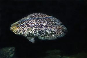 Jaguar Cichlid  Parachromis (Nandopsis)managuensis