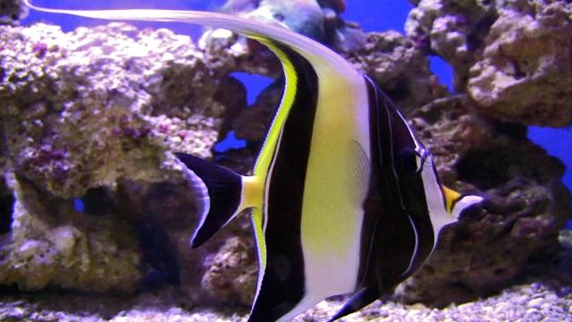 Moorish idol ron 39 s critter of the day for Moorish idol fish