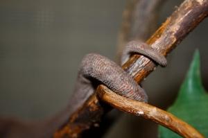 Furcifer  oustaleti