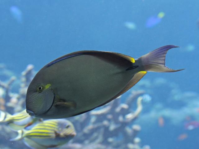 Ringtail Surgeonfish 4441603380_717ef654b8_b
