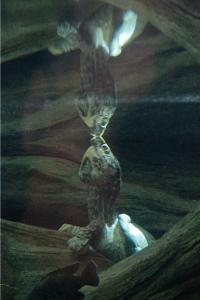 Alligator Snapping TurtleIMG_2769