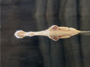 American Alligator  (male albino)IMG_6121