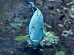 Ringtail Surgeonfish IMG_6375