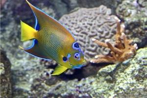 Queen Angelfish IMG_6914