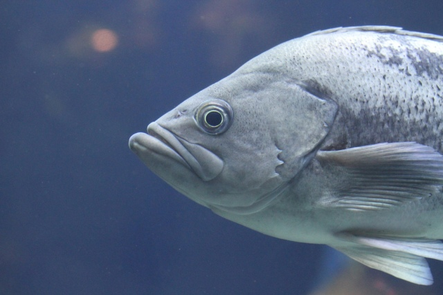 Black rockfish8451789961_cce005256d_b