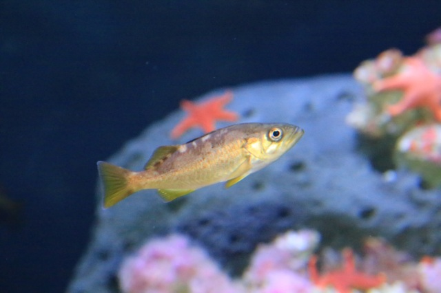 Juvenile YellowTail Rockfish14290356927_6f6345d4de_k