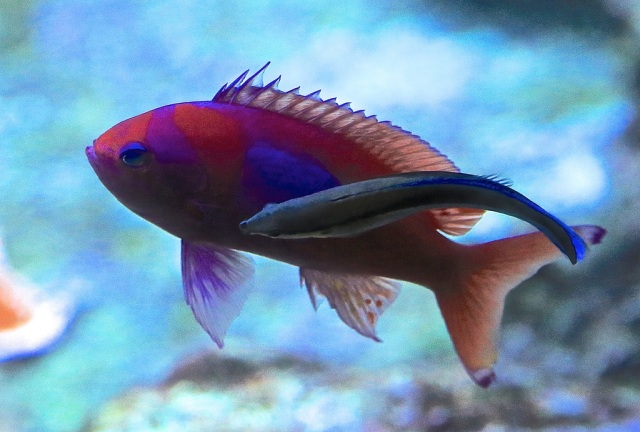 Cleaner Wrasse13298334135_9737aa3d26_b