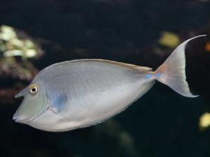 Bluespine Unicornfish 3185901763_33a827f3e8_b