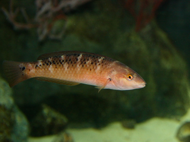 Rock Wrasse (female or immature male)  3995255809_8f686dbab8_b